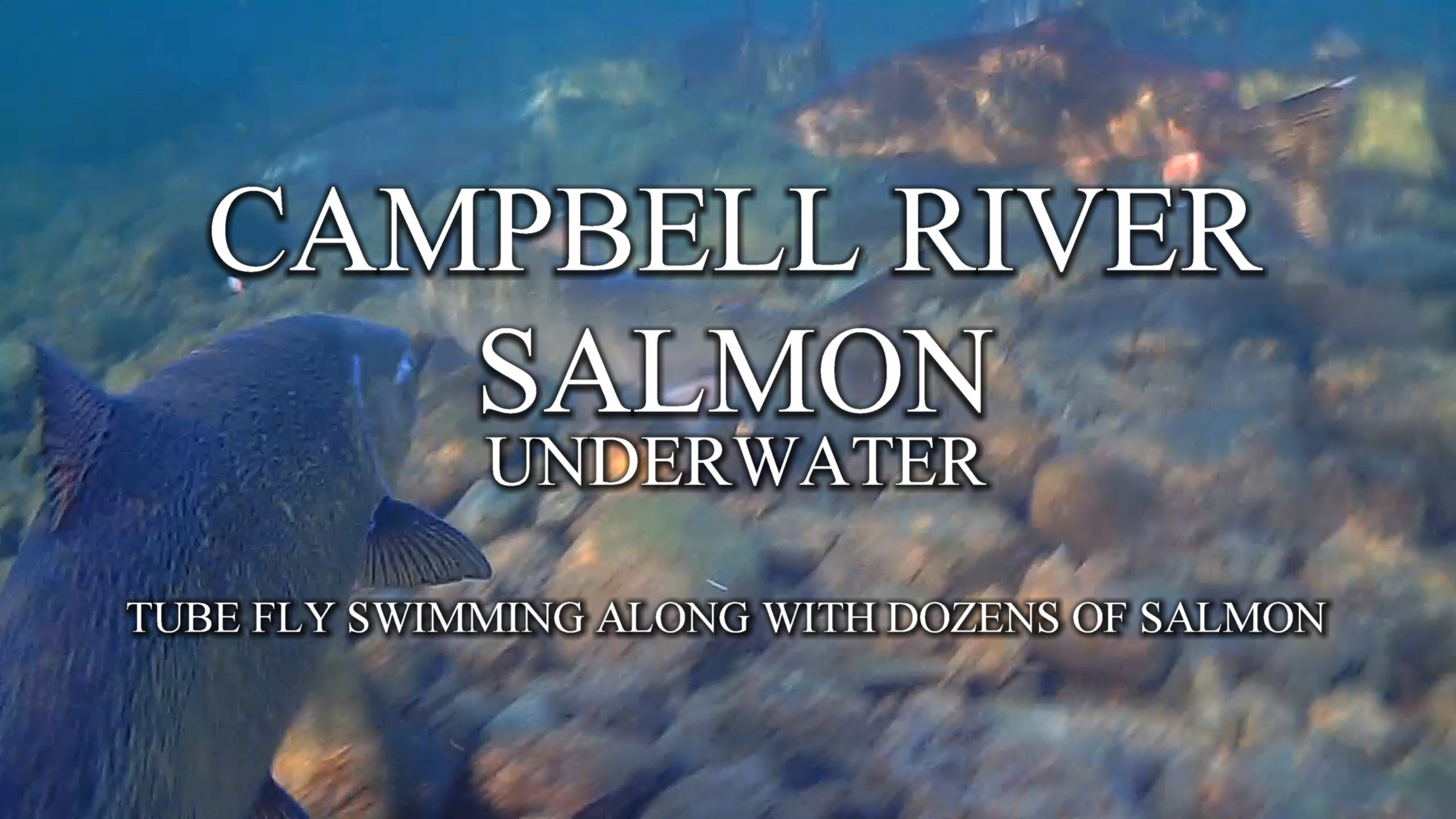 CAMPBELL RIVER SALMON in UNDERWATER camera with RiverBug TUBE FLY. Check River Ranger tube channels footage where RiverBug tube fly is swimming along dozens of King Salmon! #campbellriver #campbellriversalmon #tubefly #tubfluga #tubeflue #underwater #putkiperhot